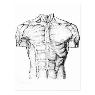 Torso Anatomy Drawing