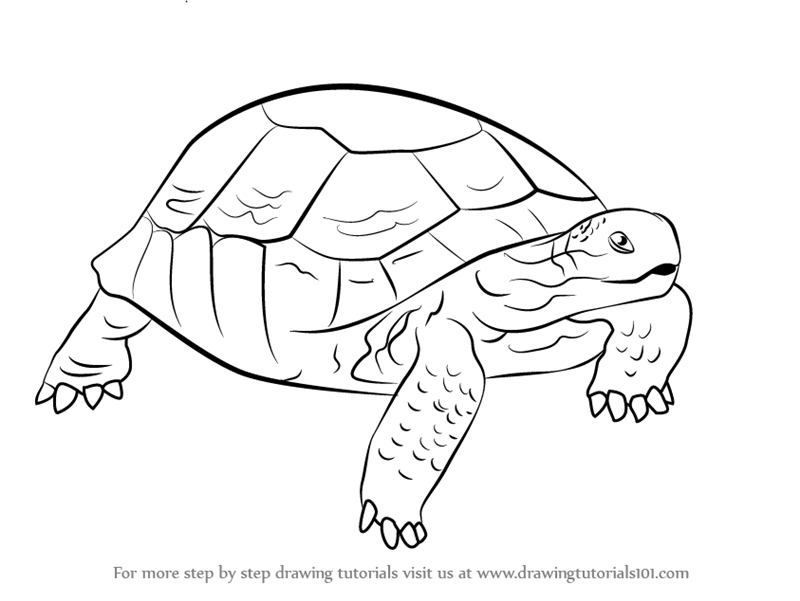 800x601 Learn How To Draw A Desert Tortoise (Turtles And Tortoises) Step