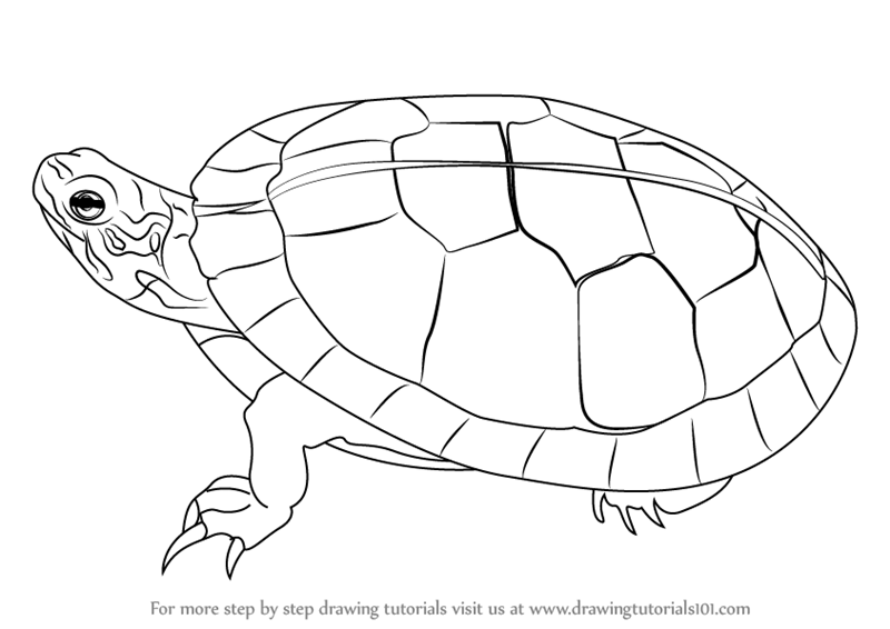 800x566 Learn How To Draw A Painted Turtle (Turtles And Tortoises) Step By