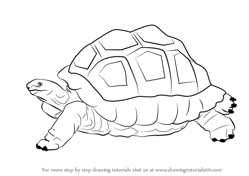 800x566 Learn How To Draw A Tortoise (Zoo Animals) Step By Step Drawing