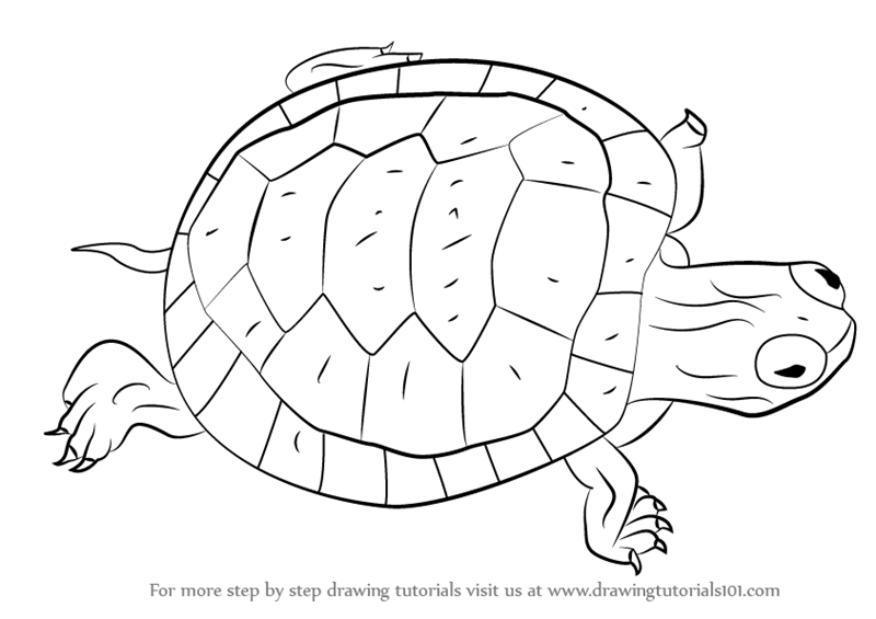 800x565 Learn How To Draw A Turtle (Turtles And Tortoises) Step By Step