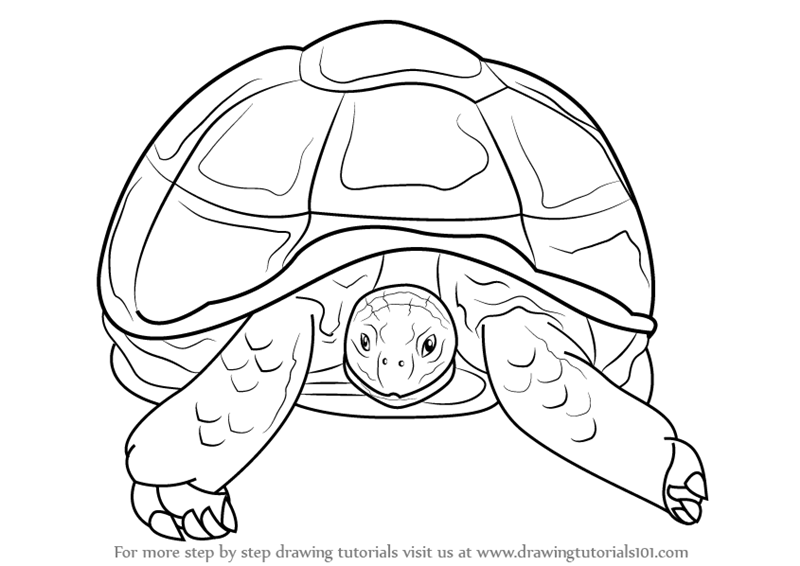 800x566 Learn How To Draw An African Spurred Tortoise (Other Animals) Step
