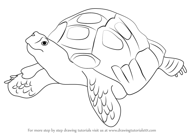 800x566 Step By Step How To Draw An Asian Forest Tortoise