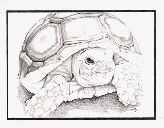 640x499 Sulcata Tortoise By Improbus Designs