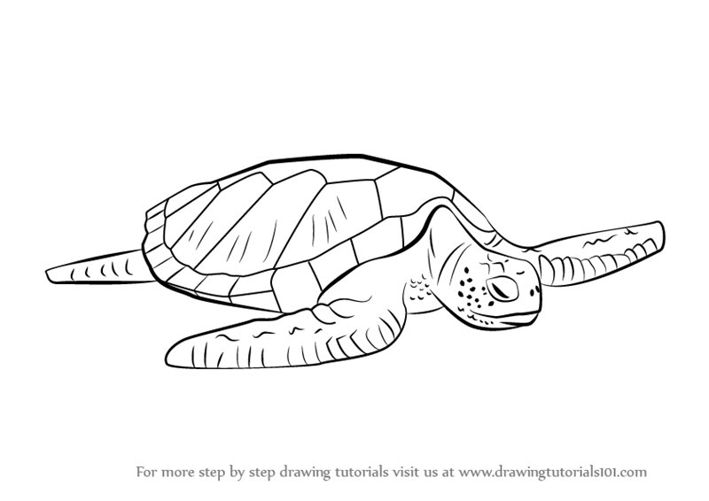 800x566 Learn How To Draw A Green Turtle (Turtles And Tortoises) Step By