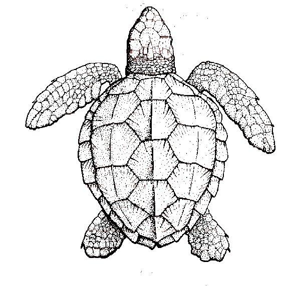 567x572 Symmetry Of Sea Turtle Shell New Tattoo Ideas