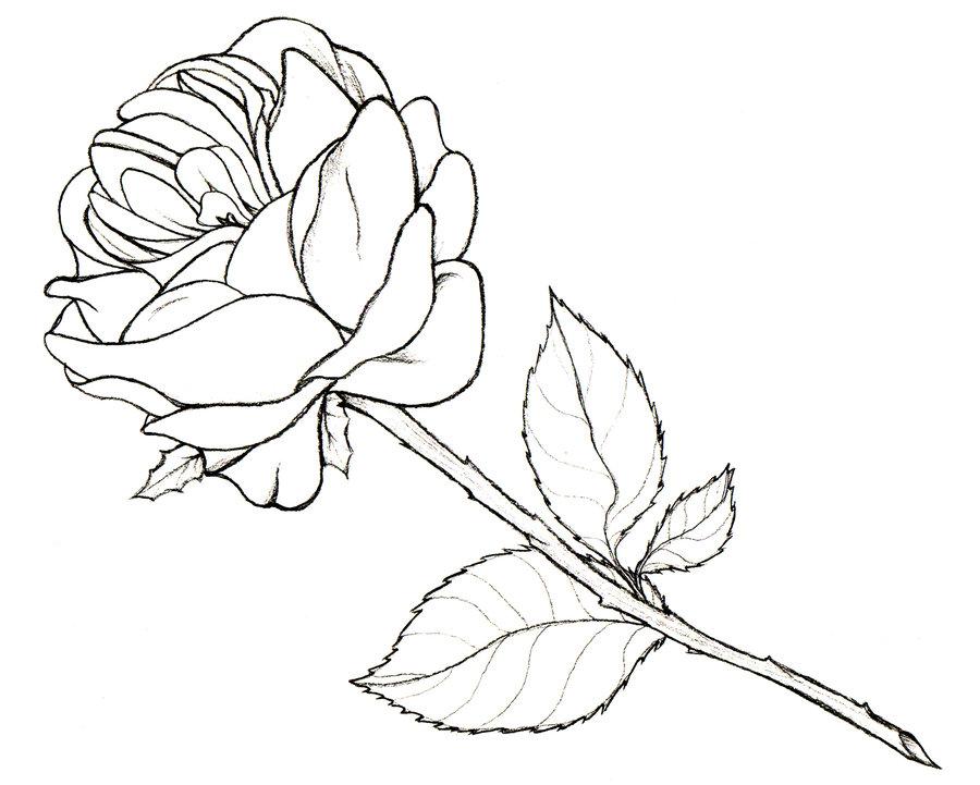 900x721 Rose