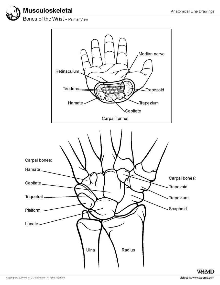 900x1165 Easy To See And Understand Cutaway And Drawing Of Wrist Bones