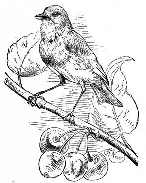 294x368 Bird In Cherry Tree