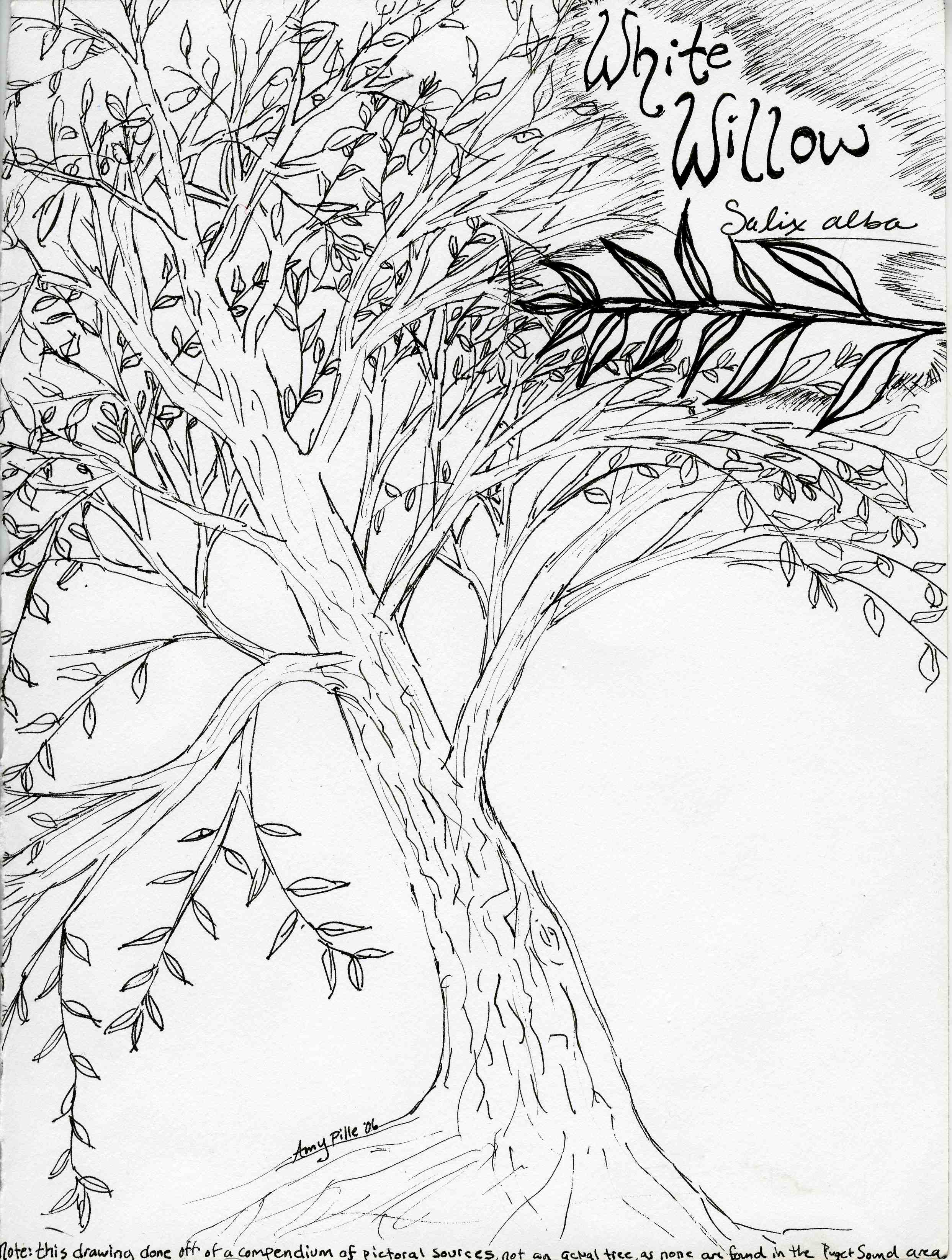 2486x3291 Weeping Willow Coloring Pages