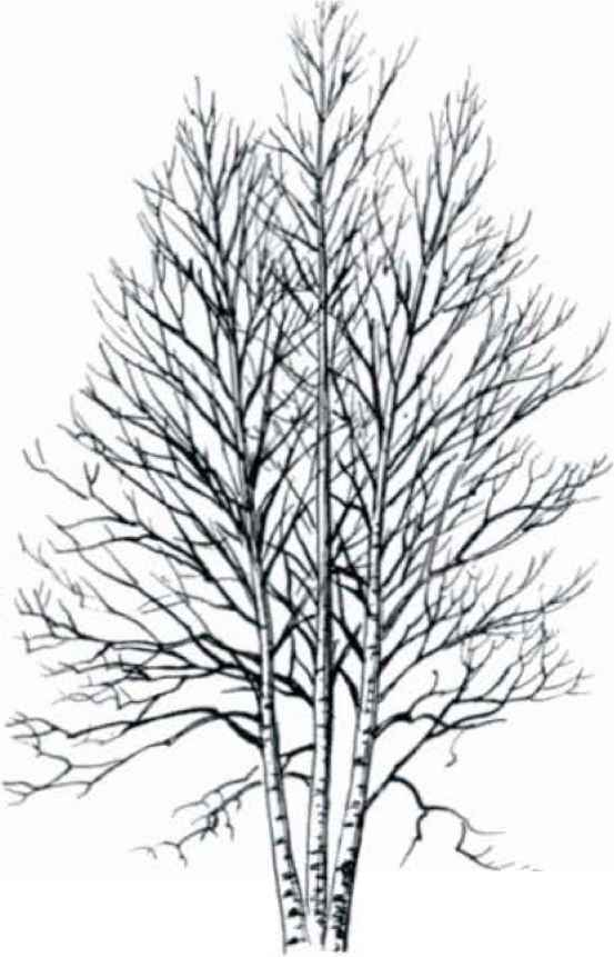 553x861 Maple Tree Bark