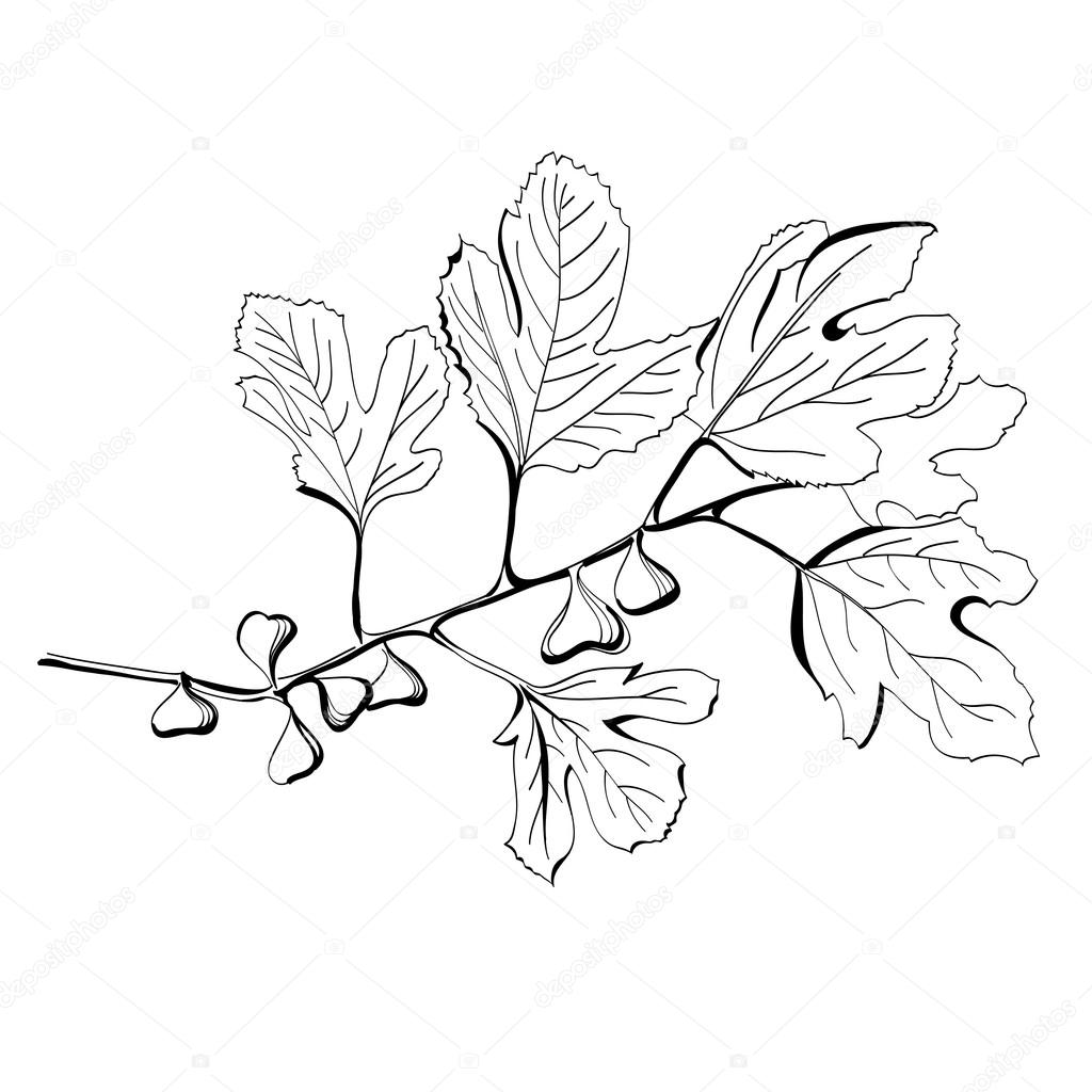 1024x1024 Stylized Black And White Drawing Of A Branch Of Fig Tree Stock