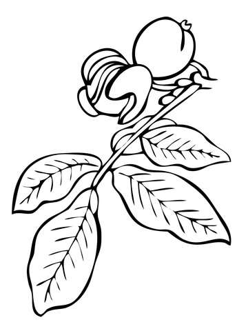 360x480 Walnut Tree Branch Coloring Page Free Printable Coloring Pages