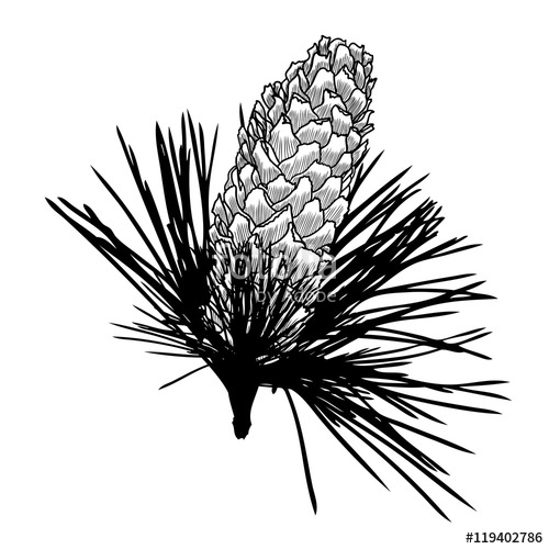 500x500 Conifer Cone On Pine Tree Branches, Pine Cone, Hand Drawing