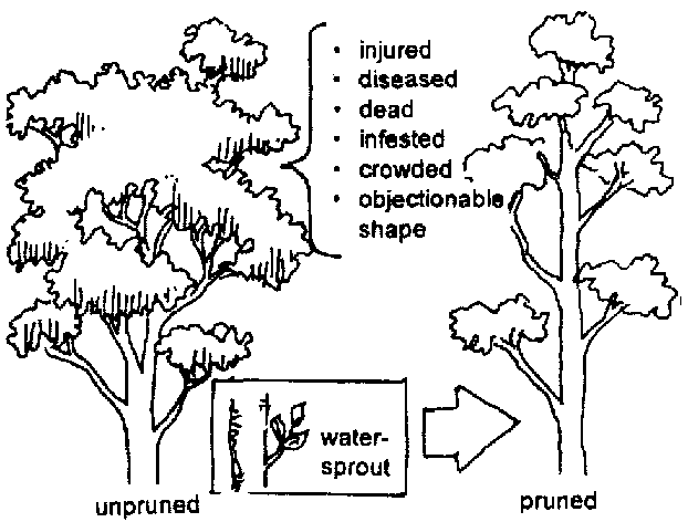 622x472 Trees and their management Tree pruning and care