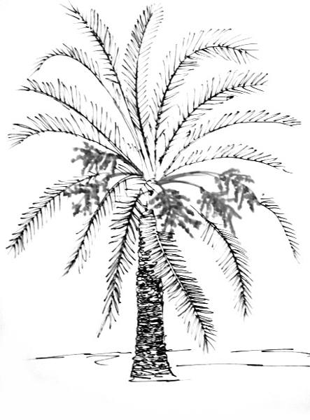 443x600 How To Draw A Date Palm Tree