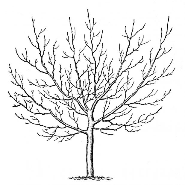 618x618 Adult Tree Without Leaves Template Tree Without Leaves Pattern