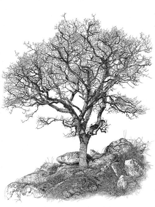 500x667 Dartmoor Oak Las, Drzewa, Chaszcze I Trawy, Rysunki, Grafika