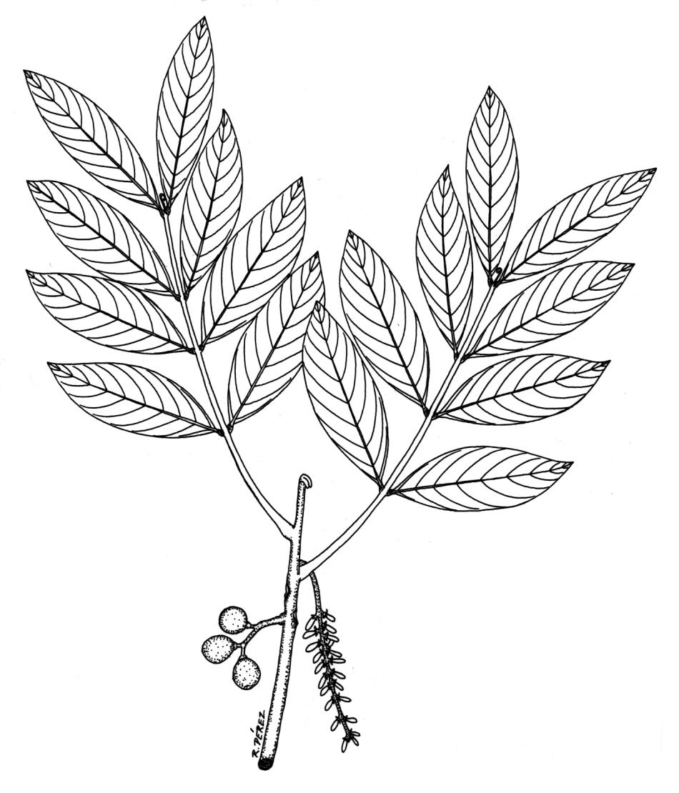 950x1110 Drawing Leaves On Trees Panama Watershed Tree Atlas
