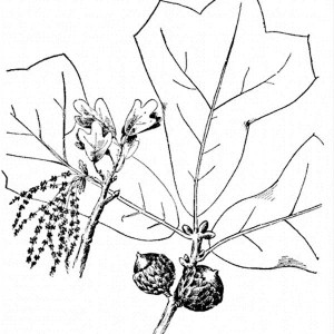 300x300 Drawing Oak Tree Leafd Fruit Coloring Page Drawing