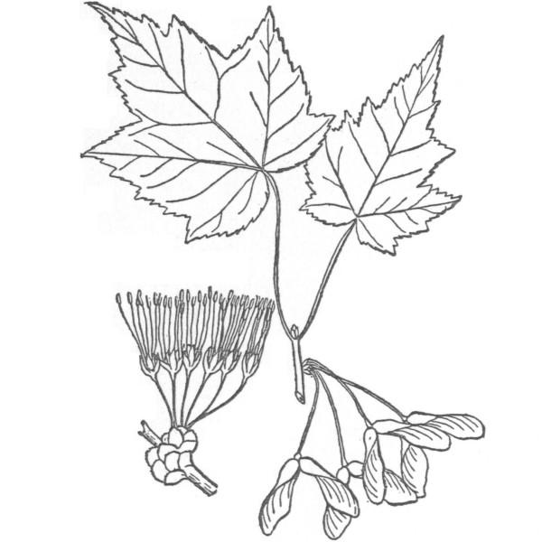 600x600 Drawn Leaf Maple Tree