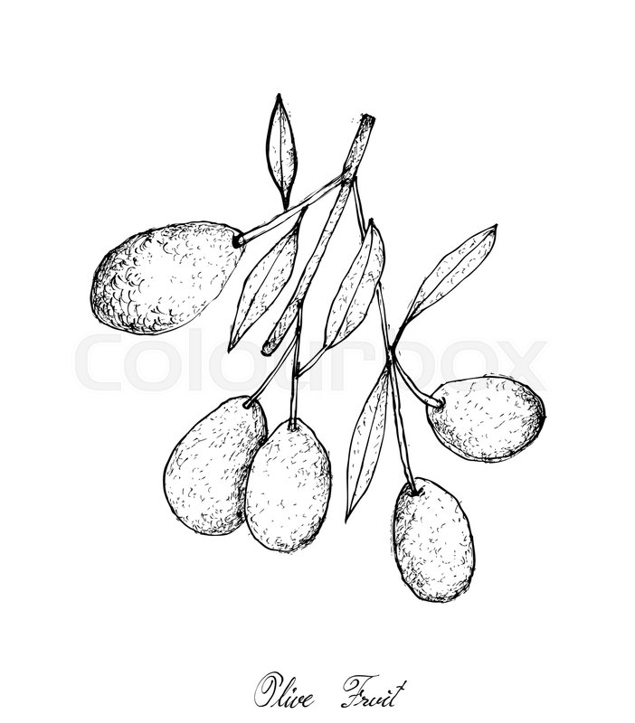 702x800 Fruit, Illustration Of Hand Drawn Sketch Delicious Fresh Olives