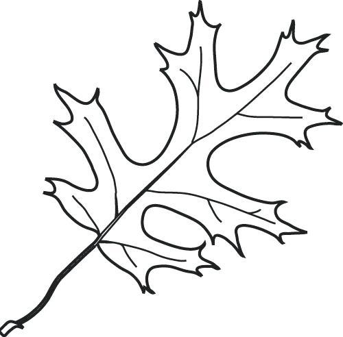 500x492 Oak Leaf Coloring Page Oak Leaves Drawing Library Free Images Oak