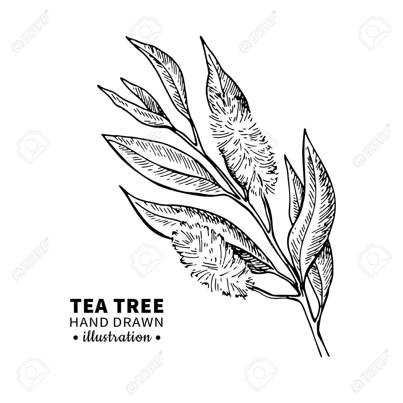 1300x1300 Tea Tree Vector Drawing. Isolated Vintage Illustration Of Medical