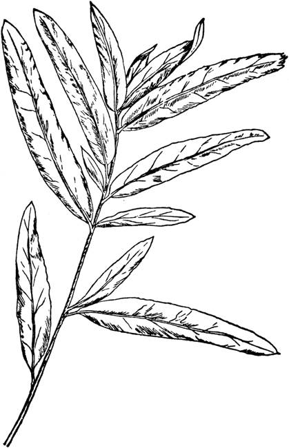 419x650 Willow Tree Leaves Drawing Pictures Reference