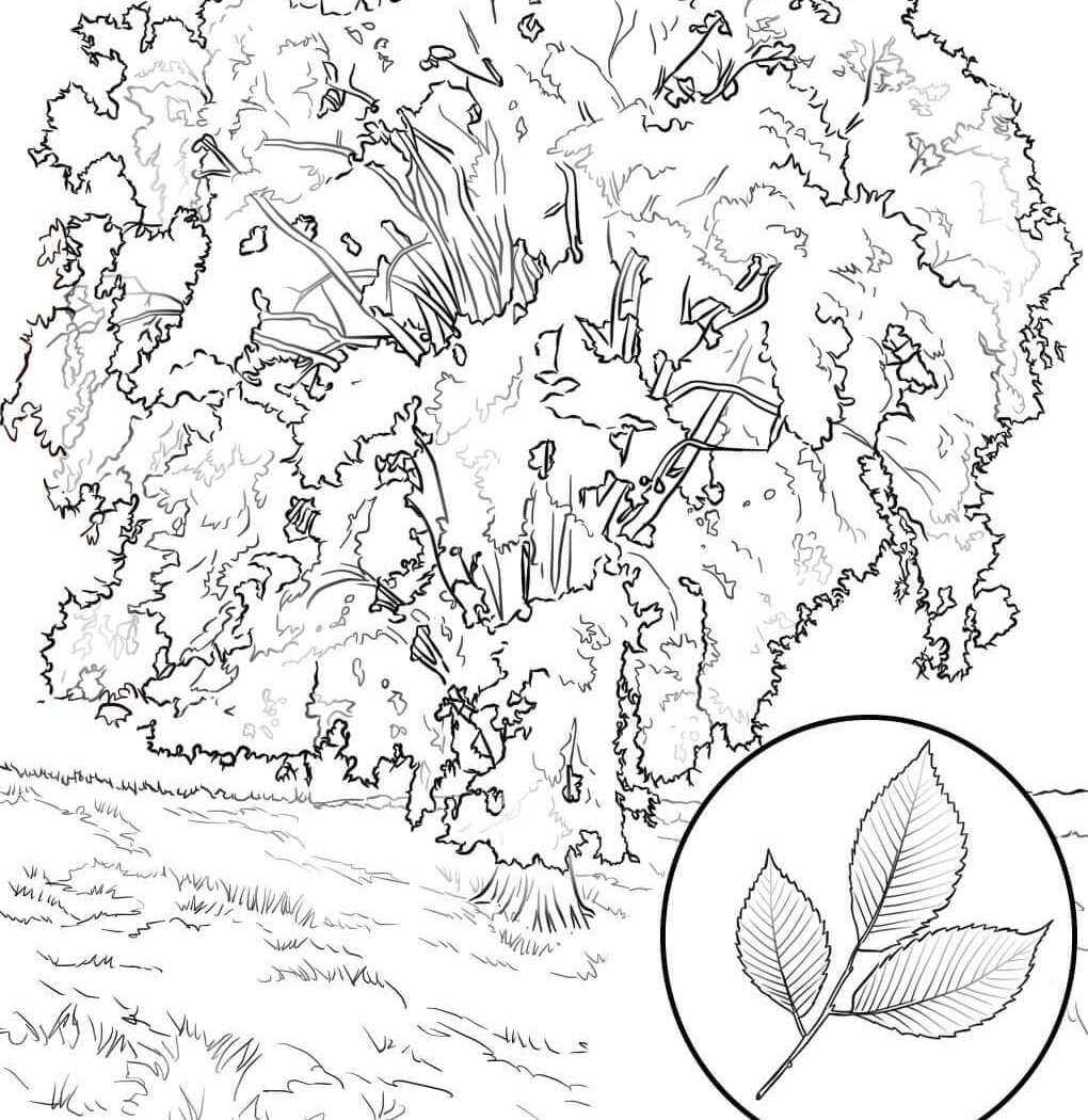 1020x1050 Texas State Tree Coloring Page Free Printable Pages Kids Fall Big