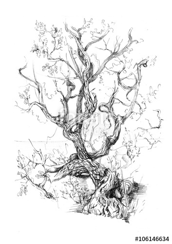 353x500 Hand Drawn View Old Tree, View Old Tree, Juniper. Pencil Drawing