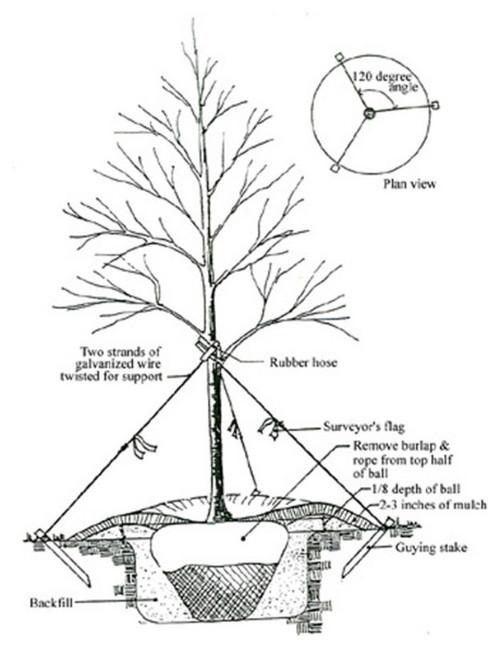 500x648 Tree Staking