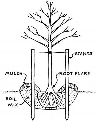 332x417 Trees Planting Too Deep