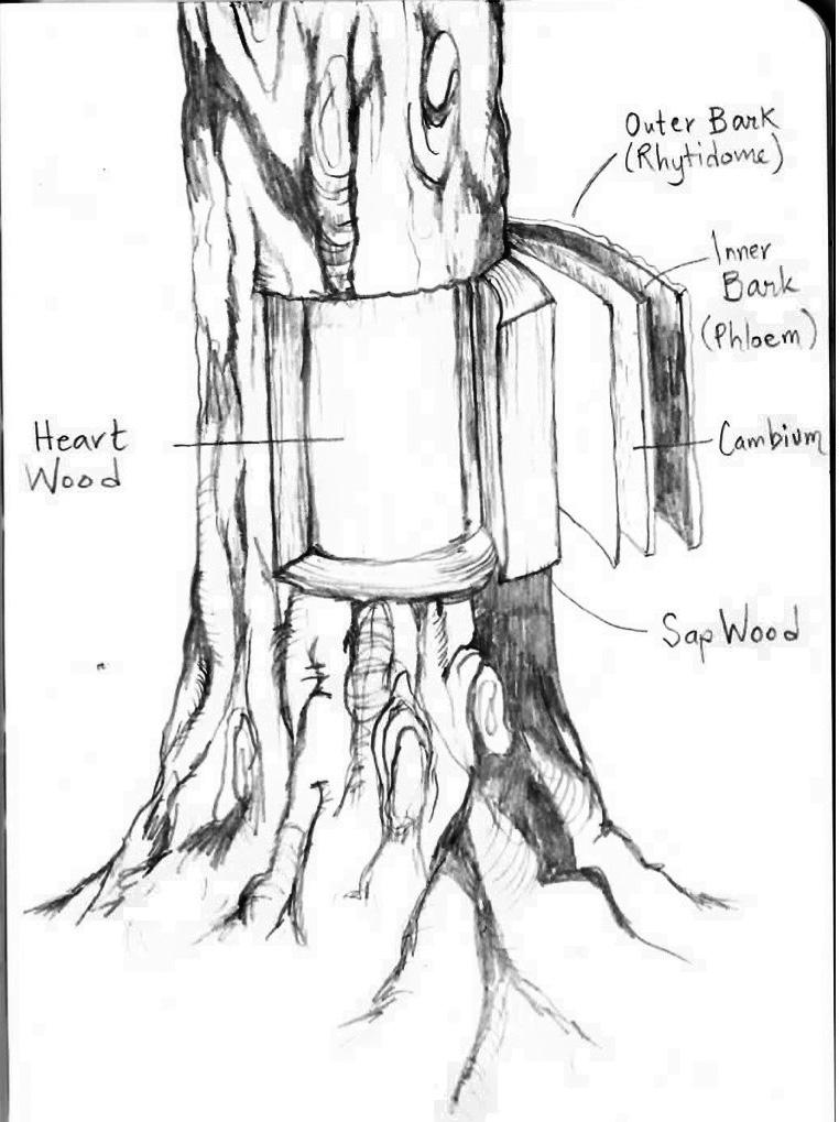 Tree Trunks Drawing at GetDrawings