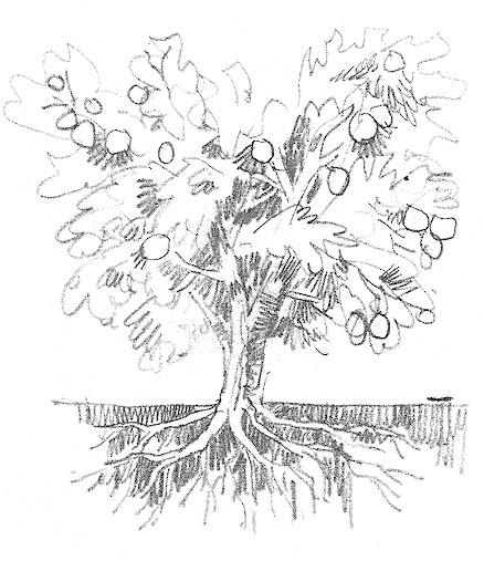 438x507 Drawn Roots Fruit Tree