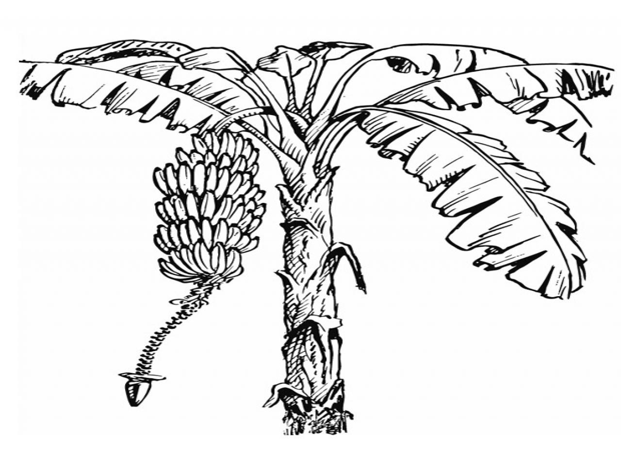1280x960 Drawing Of Banana Tree Coloring Page Printable Kids Banan To Print