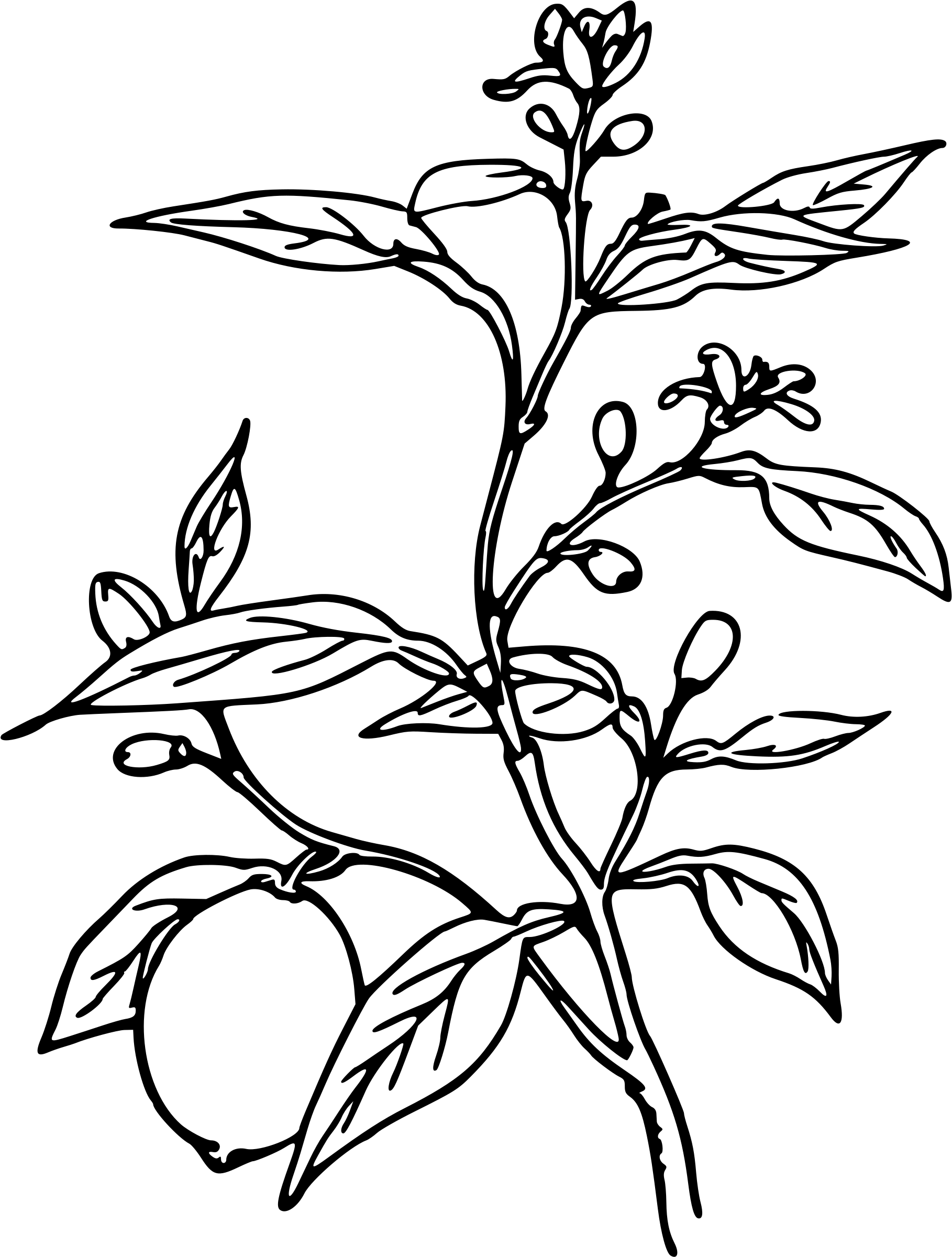 1818x2400 Lemon Tree Clipart Black And White