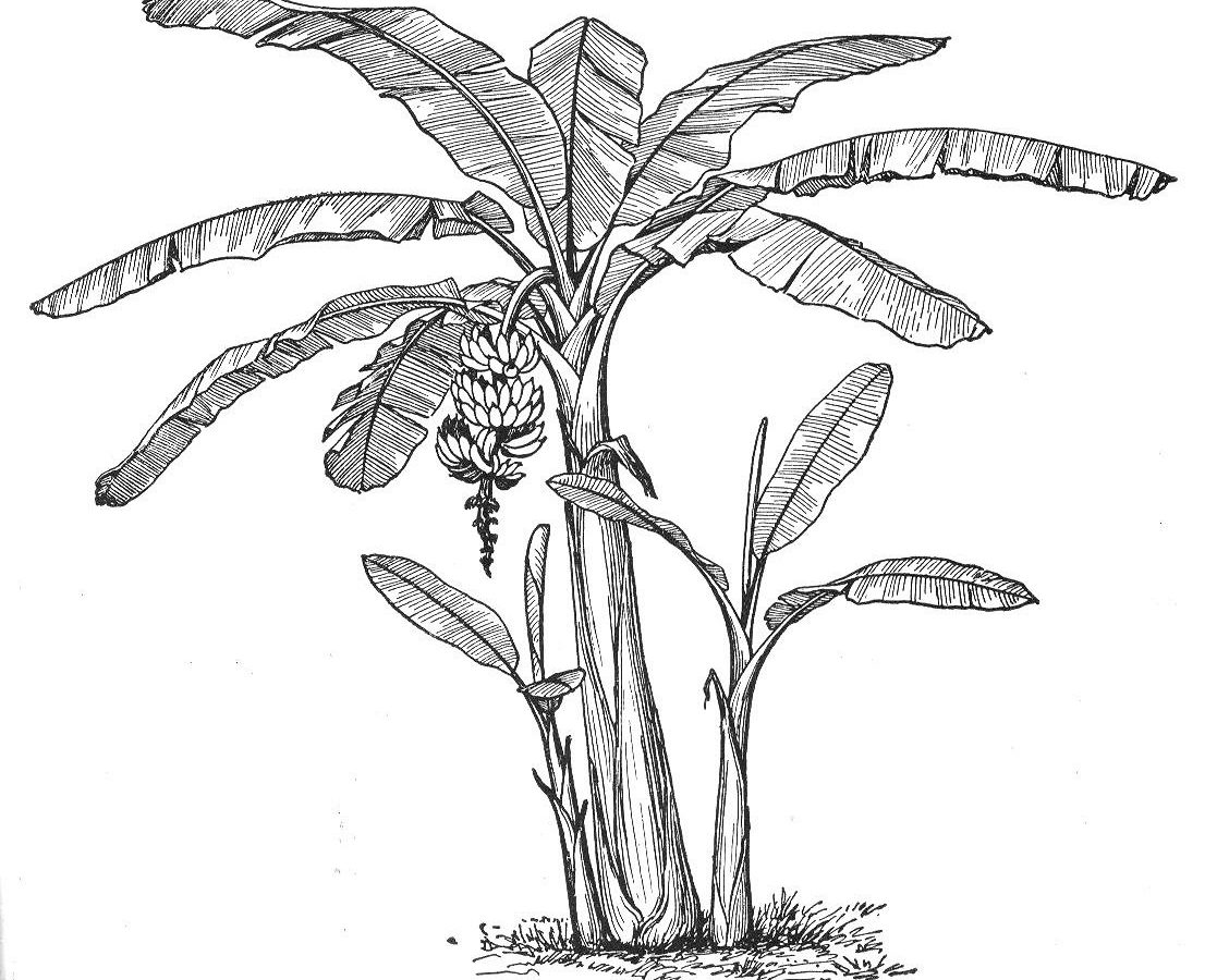 1117x900 Drawn Banana Coloring Page Pencil And In Print Printable Tree Kids