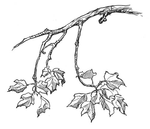 500x431 Drawn Branch Tree Limb