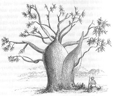 400x336 Filegouty Stem Tree (Discoveries In Australia).jpg