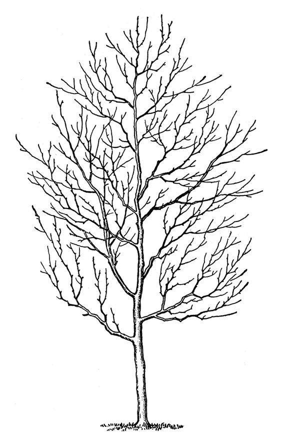 564x886 Tree Line Drawing Clip Art
