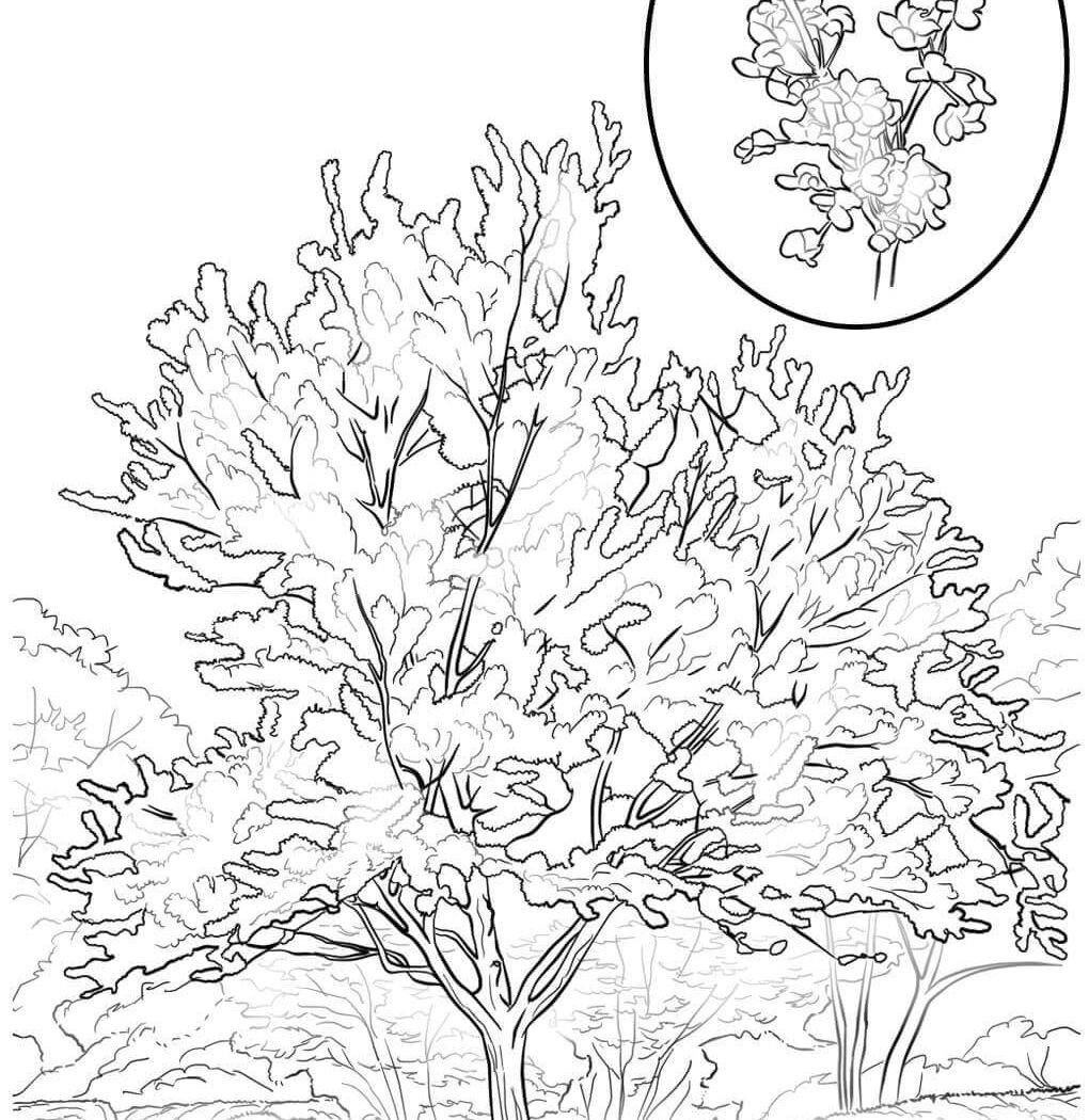 1020x1050 Fir Tree Coloring Page Wonderful Pages Of Free Plants And Pecan