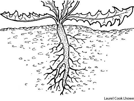 465x352 Tap Root Define Tap Root