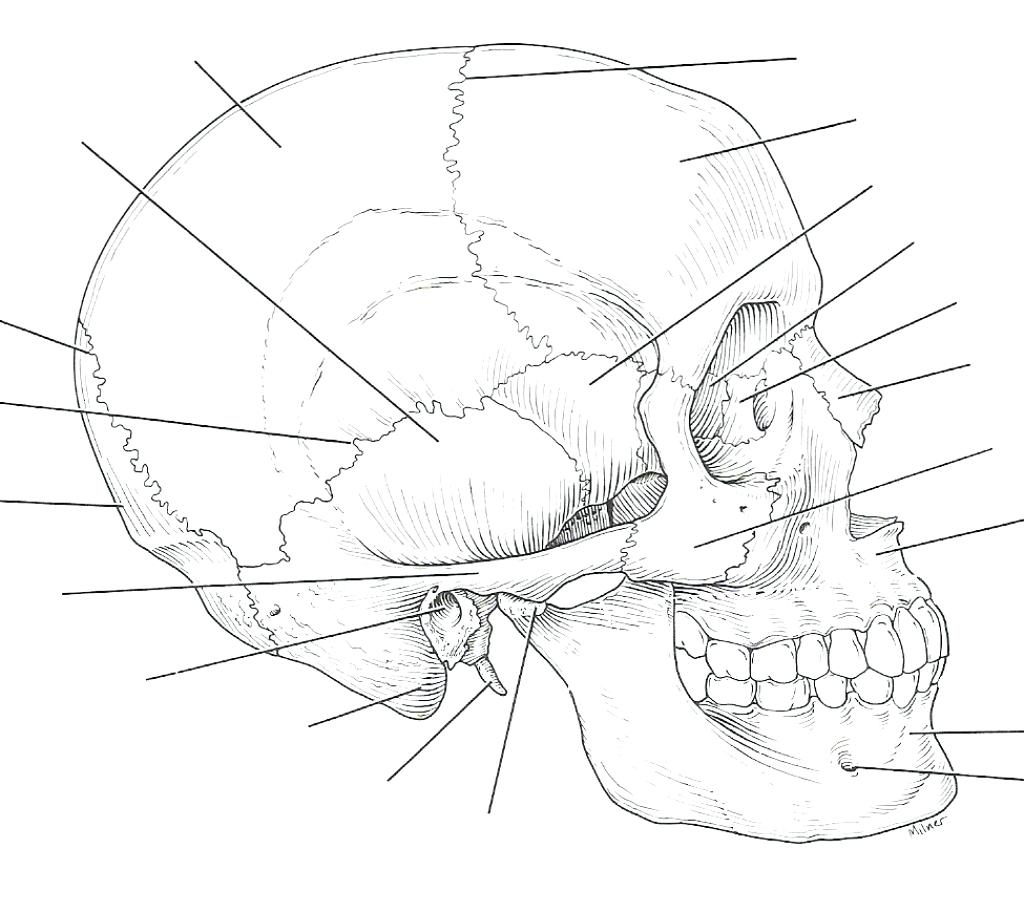 Triceratops Skeleton Drawing At Getdrawings Com Free For Personal