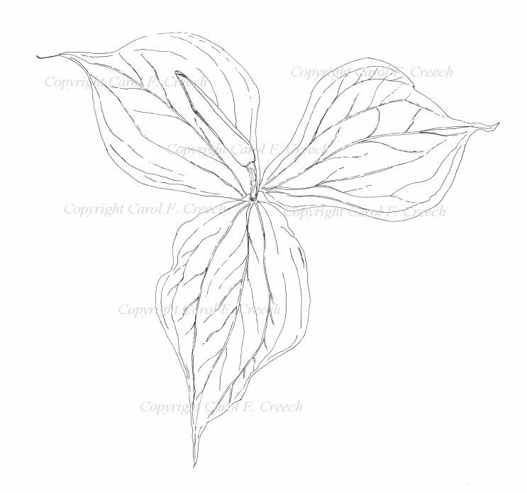 Trillium Drawing