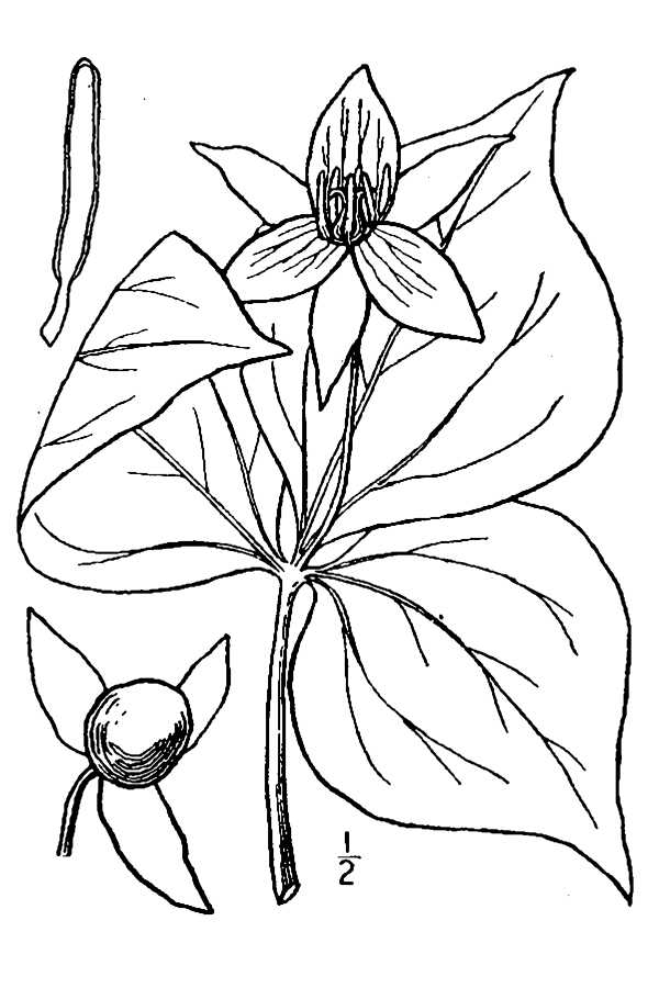 Trillium Drawing at GetDrawings com | Free for personal use
