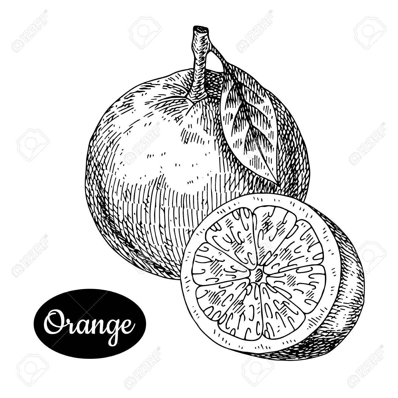 1300x1300 Fresh Orange. Hand Drawn Sketch Style Tropical Summer Fruit Vector