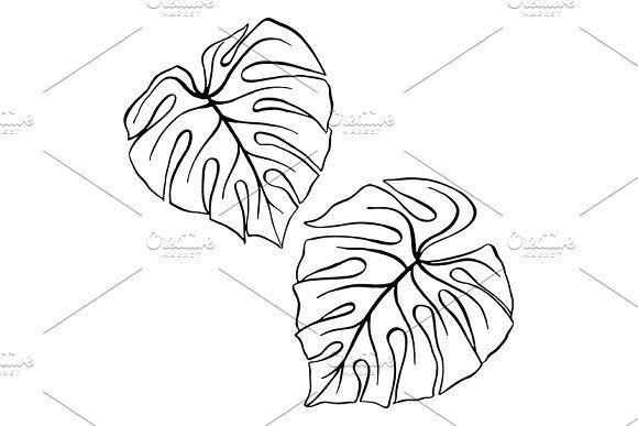 580x387 Monstera Tropical Leaf Plant Sketch Beauty Illustration, Botany