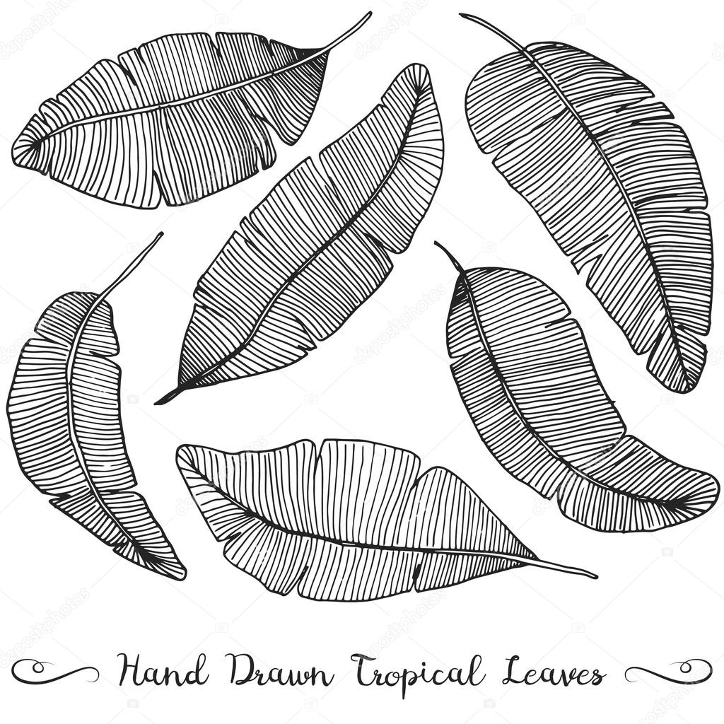 1024x1024 Six Different Hand Drawn Vector Banana Leaves, Isolated On White