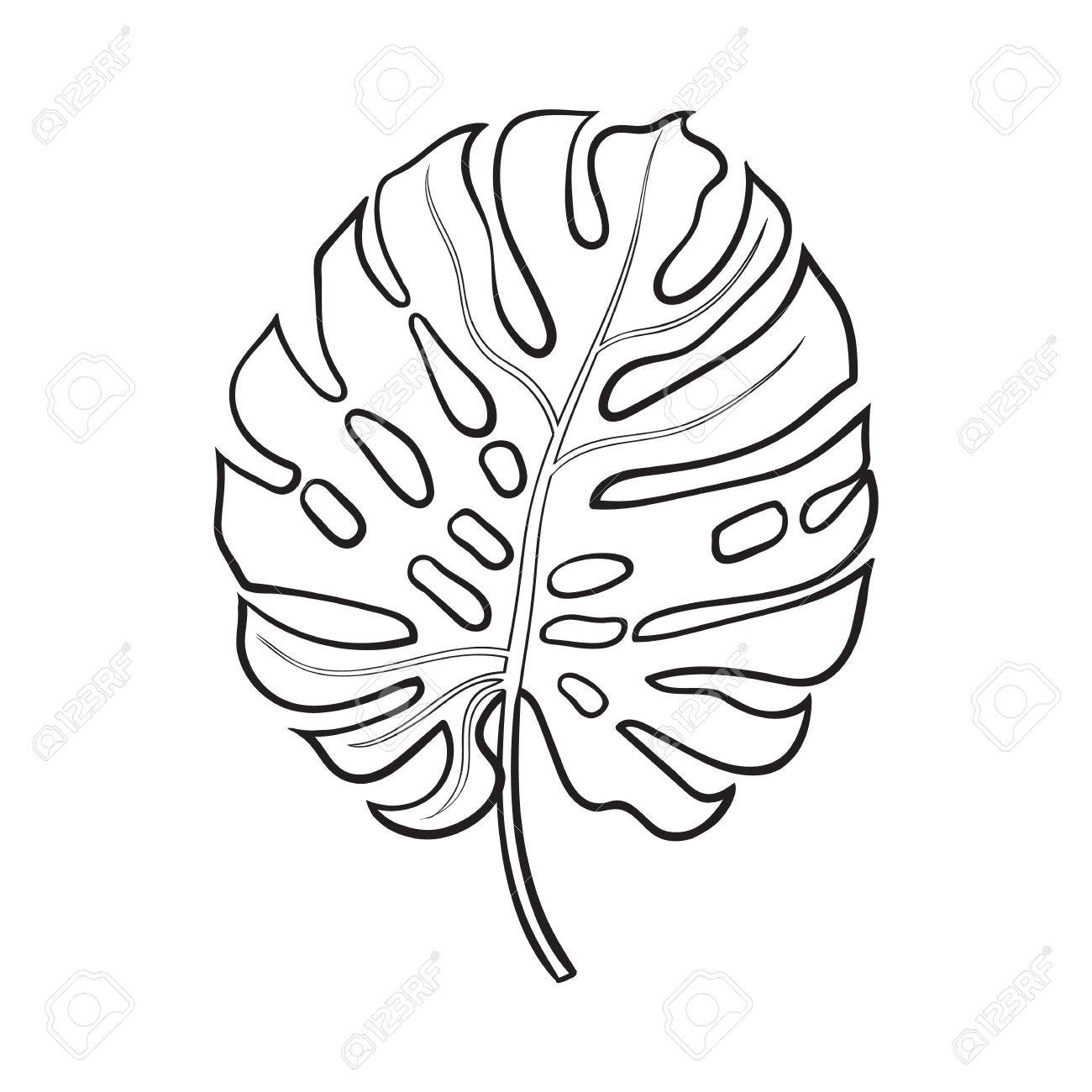 1300x1300 Full Fresh Leaf Of Monstera Palm Tree, Sketch Style Vector